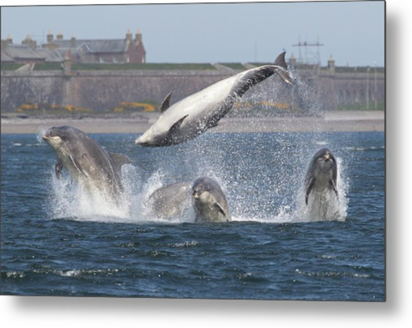 Dance Of The Dolphins Metal Print