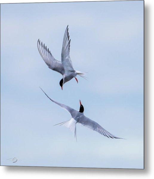 Dancing Arctic Terns Metal Print