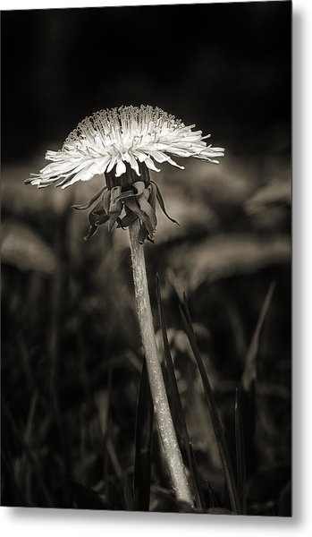 Dandelion In Black And Wite Metal Print