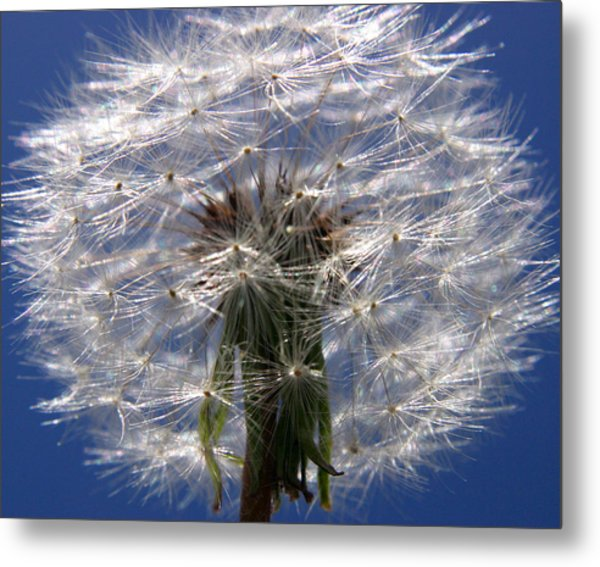 Dandelion Metal Print by PIXELS  XPOSED Ralph A Ledergerber Photography
