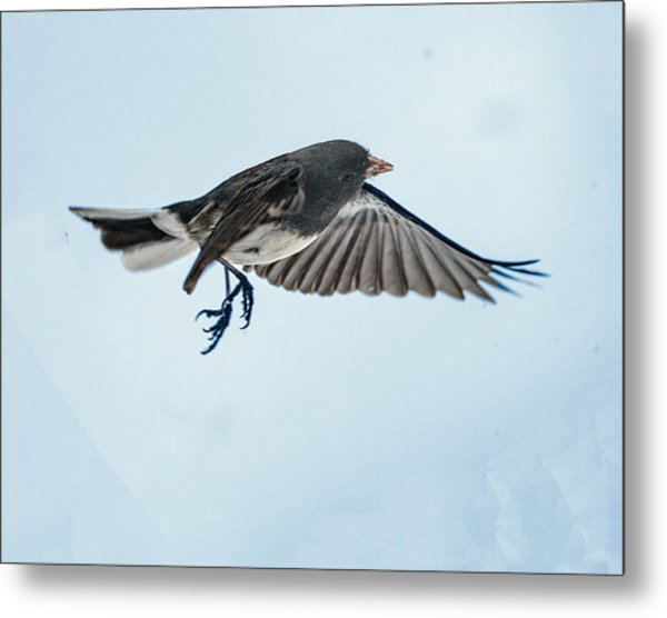 Dark-eyed Junco Flying Metal Print