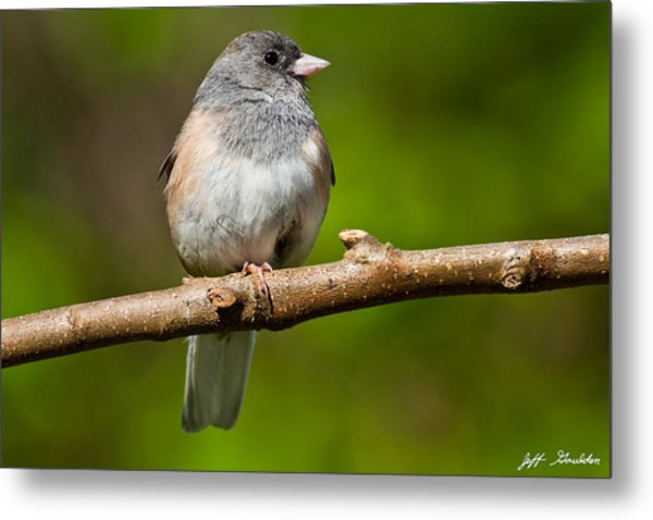 Dark Eyed Junco Perched On A Branch Metal Print