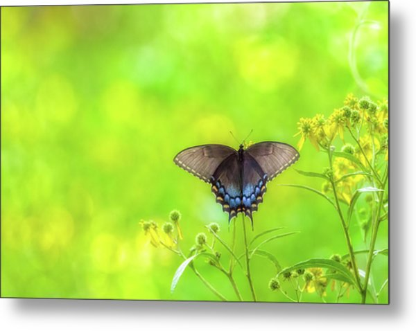 Metal Print featuring the photograph Dark Morph Female Tiger Swallowtail Butterfly by Lori Coleman