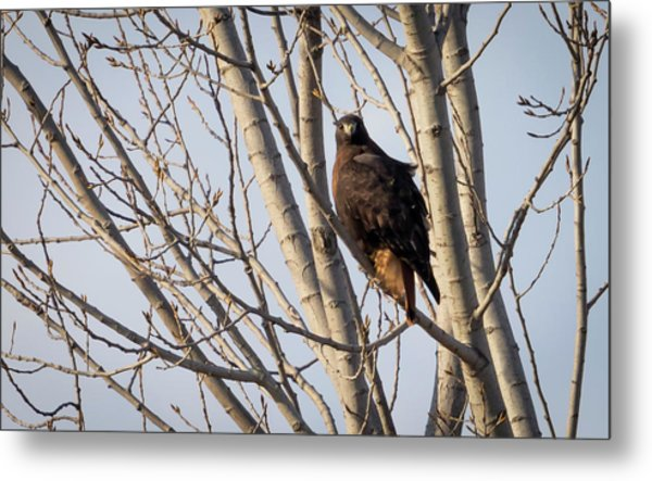 Metal Print featuring the photograph Dark-morph Western Red-tailed Hawks by Ricky L Jones