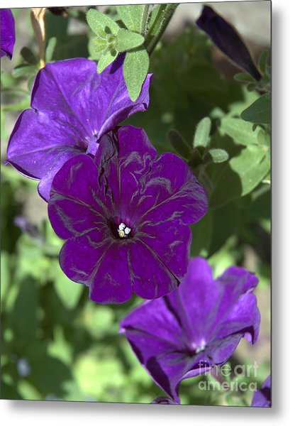 Dark Purple Petunias Metal Print