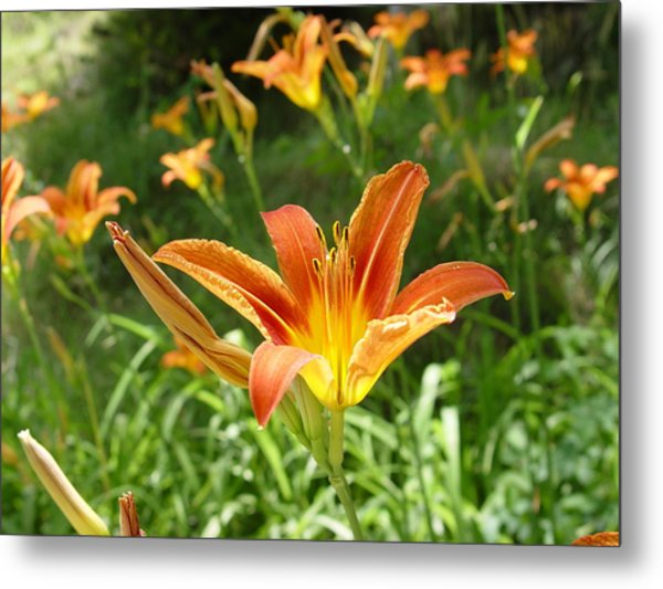 Day Lillies - Standing Tall Metal Print by Murtaza Humayun Saeed