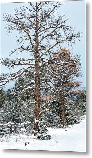 Dead Ponderosa Pines In Winter Metal Print