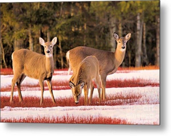 Deer In Snow Metal Print