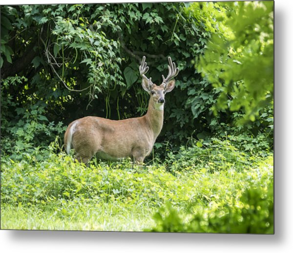 Eastern White Tail Deer Metal Print