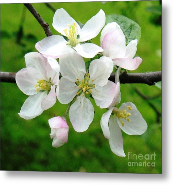 Delicate Apple Blossoms Metal Print