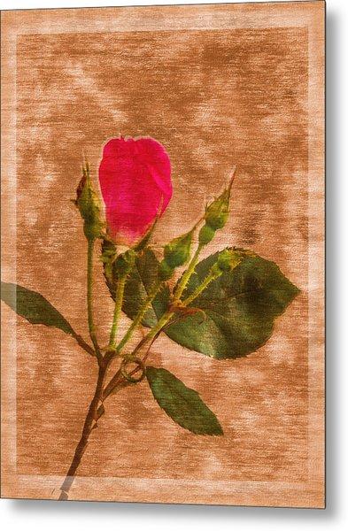 Delicate Bloom - Textured Rose Metal Print by Barry Jones