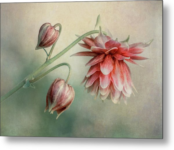 Delicate Red Columbine Metal Print