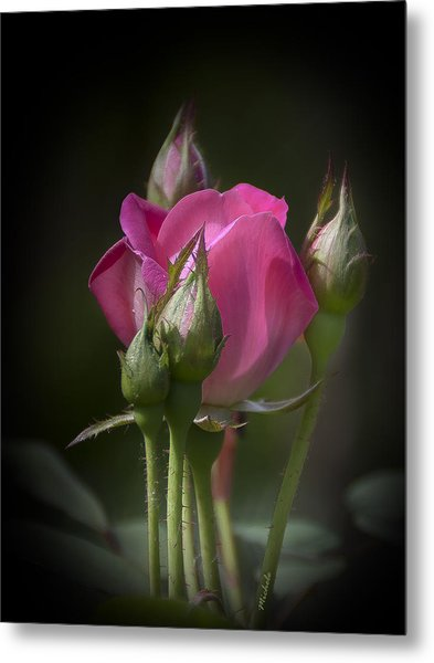 Delicate Rose With Buds Metal Print
