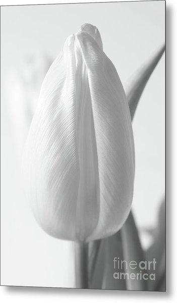 Delicate Tulip Metal Print
