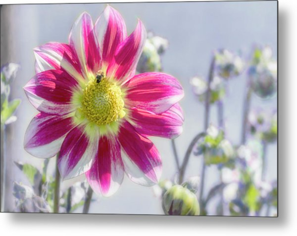 Metal Print featuring the photograph Delicious Dahlia by Belinda Greb