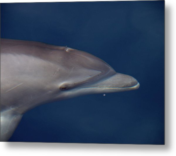 Delphin 5 Metal Print