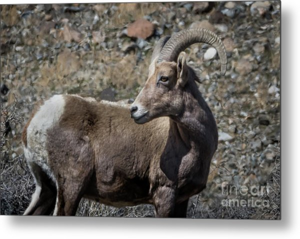 Desert Big Horn Sheep Metal Print by Webb Canepa
