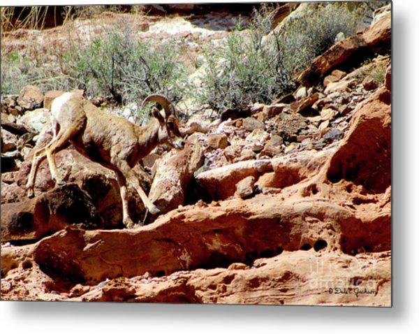 Desert Bighorn Ram Walking The Ledge Metal Print