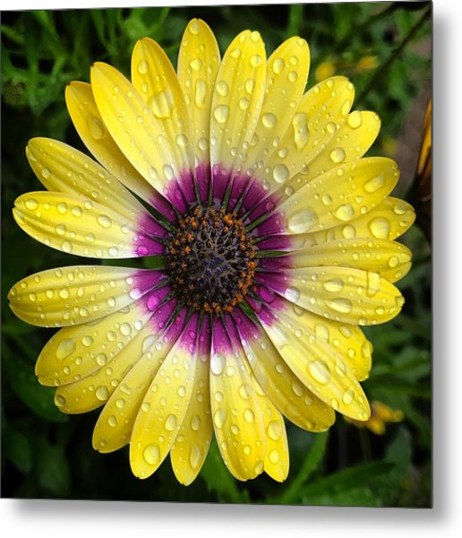 Dew Dropped Daisy Metal Print