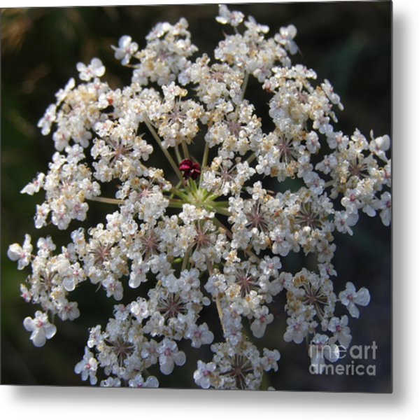 Dew On Queen Annes Lace Metal Print