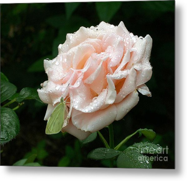 Dewdrops On A Rose Metal Print by Addie Hocynec