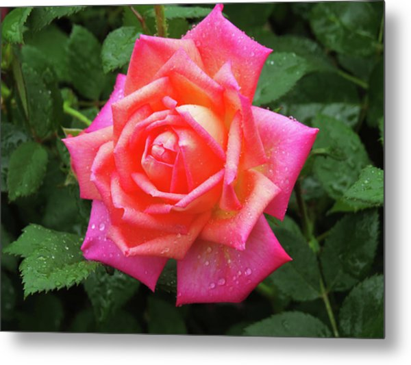 Dewy Rose Metal Print