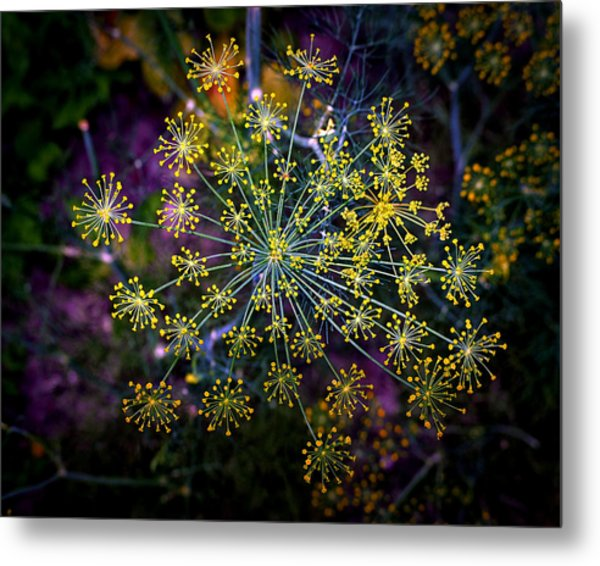 Dill Going To Seed Metal Print