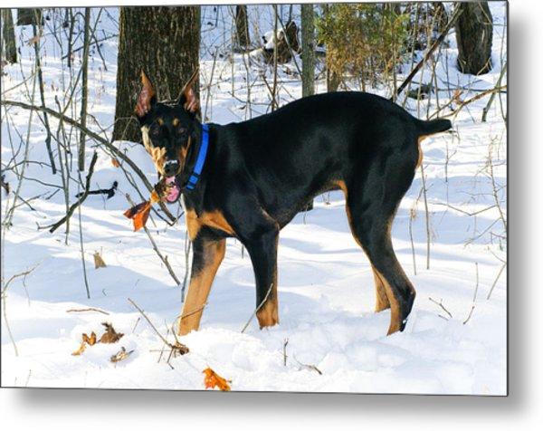 Doberman Metal Print by Melissa  Riggs