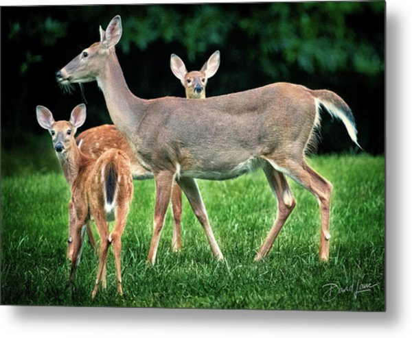 Metal Print featuring the photograph Doe And Two Fawns by David A Lane