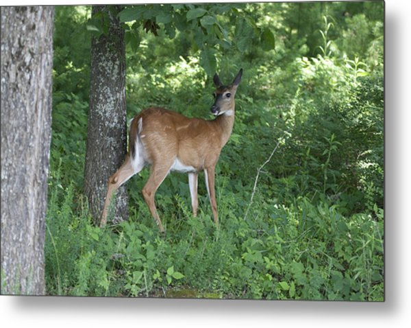 Doe In The Forest Metal Print by Tina B Hamilton