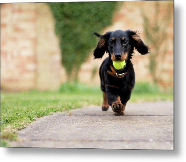 Dog With Ball Metal Print