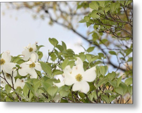 Dogwood Metal Print by Angie  Wise