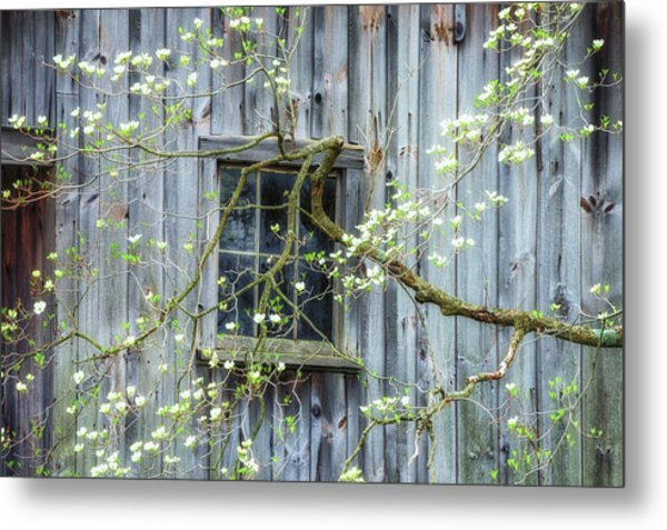 Dogwood Blossoms- Rejuvination  Metal Print