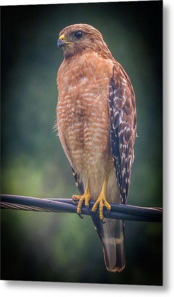 Metal Print featuring the photograph Dominique The Hawk by Michael Sussman