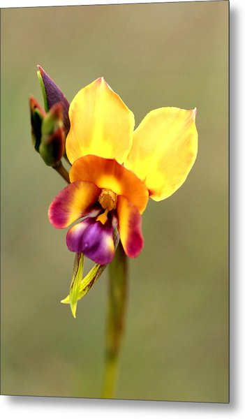 Donkey Orchid Metal Print