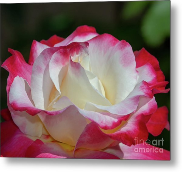 Double Delight Rose 1 Metal Print