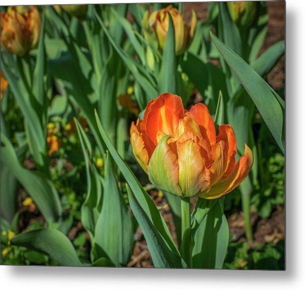 Double Multicolor Tulips Metal Print