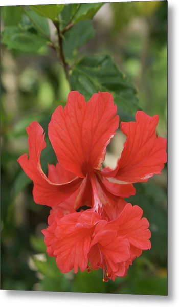 Double Red Hibiscus Photograph By Eddie Freeman