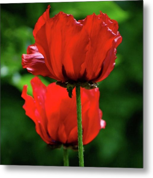 Double Red Poppies Metal Print