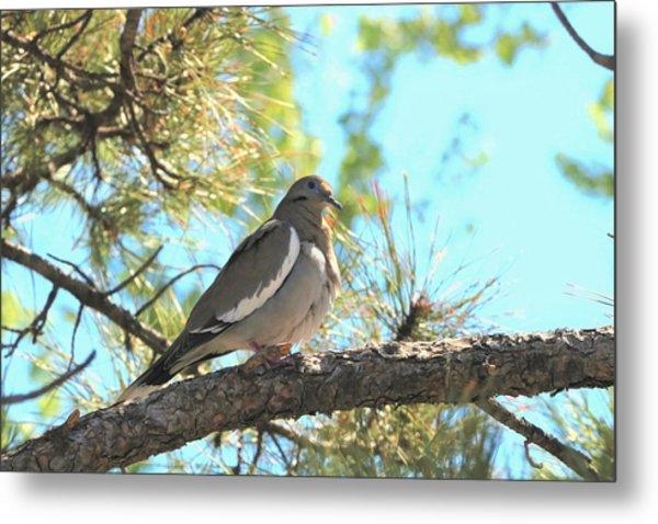 Dove In Pine Tree Metal Print