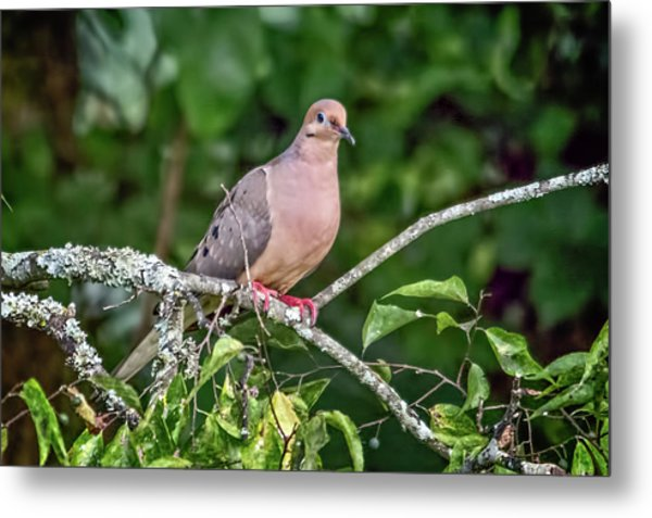 Dove On A Branch Metal Print