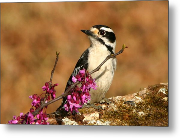 Downy Woodpecker In Spring Metal Print