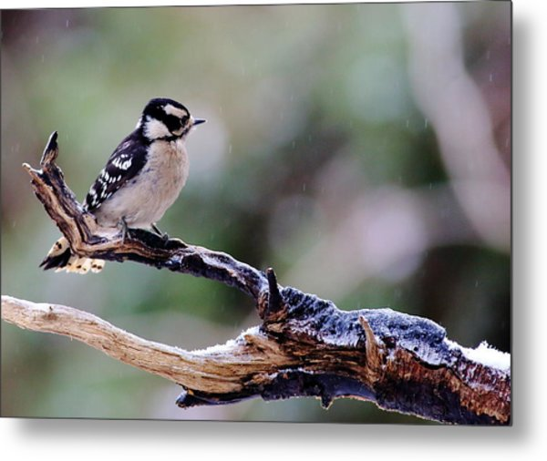 Metal Print featuring the photograph Downy Woodpecker With Snow by Daniel Reed