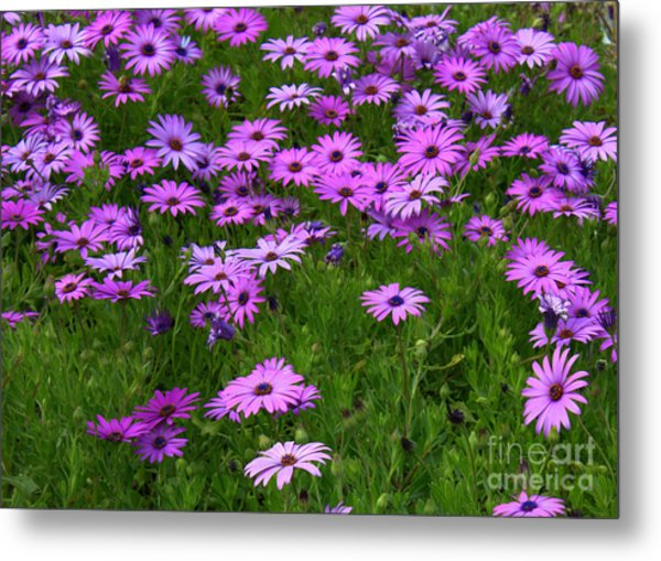 Dreaming Of Purple Daisies  Metal Print