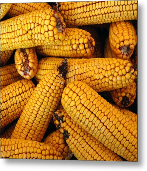 Dried Corn Cobs Metal Print