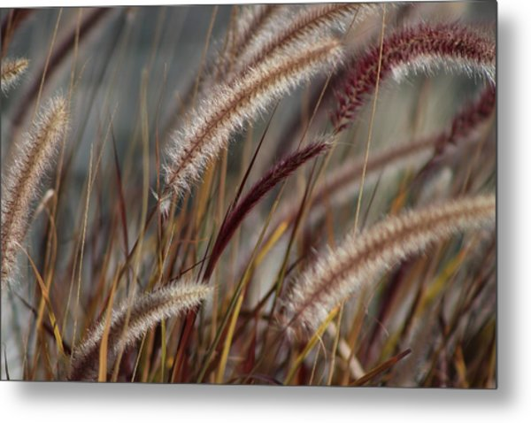 Dried Desert Grass Plumes In Honey Brown Metal Print