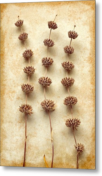 Dried Sage Metal Print