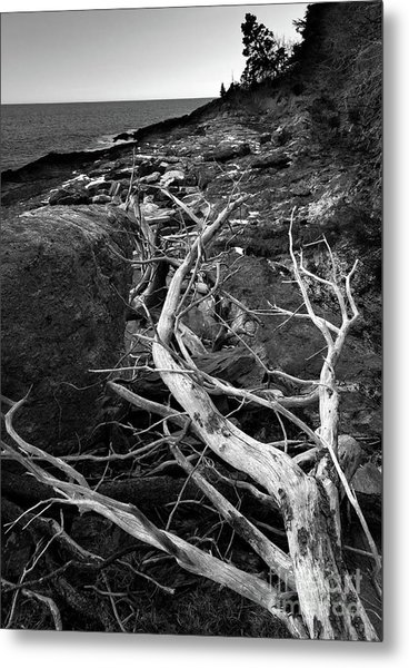 Driftwood Tree, La Verna Preserve, Bristol, Maine  -20999-30003 Metal Print