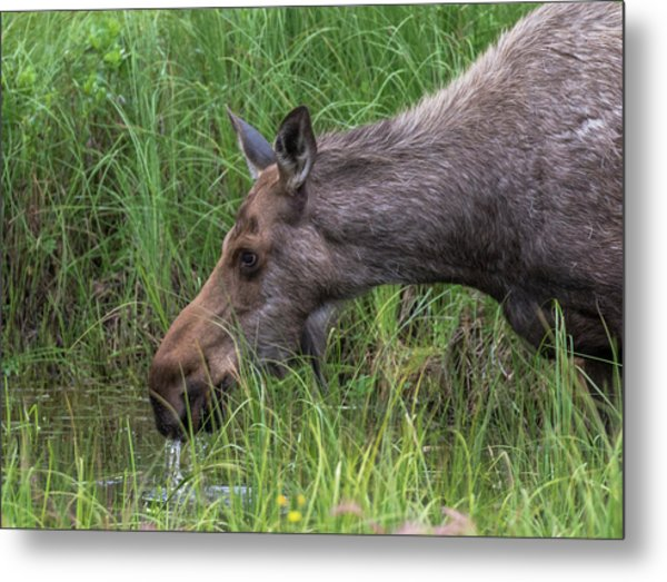 Drinking At The Pond Metal Print