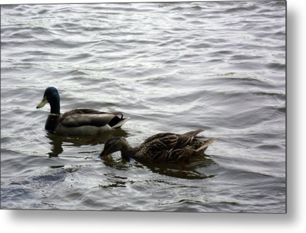 Drinking Duck Metal Print by Leigh Odom